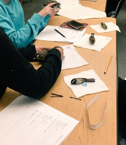 Students taking morphometric measurements of bird skins at the Duwamish River Summit at Northwest School
